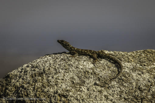 Cape Girdled Lizzard