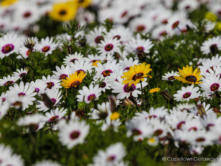 West Coast Flowers (Daisies)