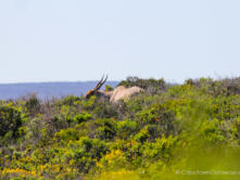 Adult Eland grazing in the West Coast National Park.